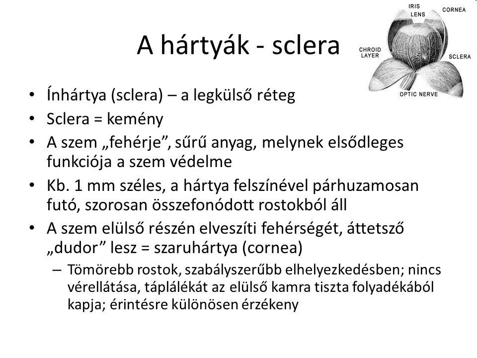 A hártyák - sclera Ínhártya (sclera) – a legkülső réteg