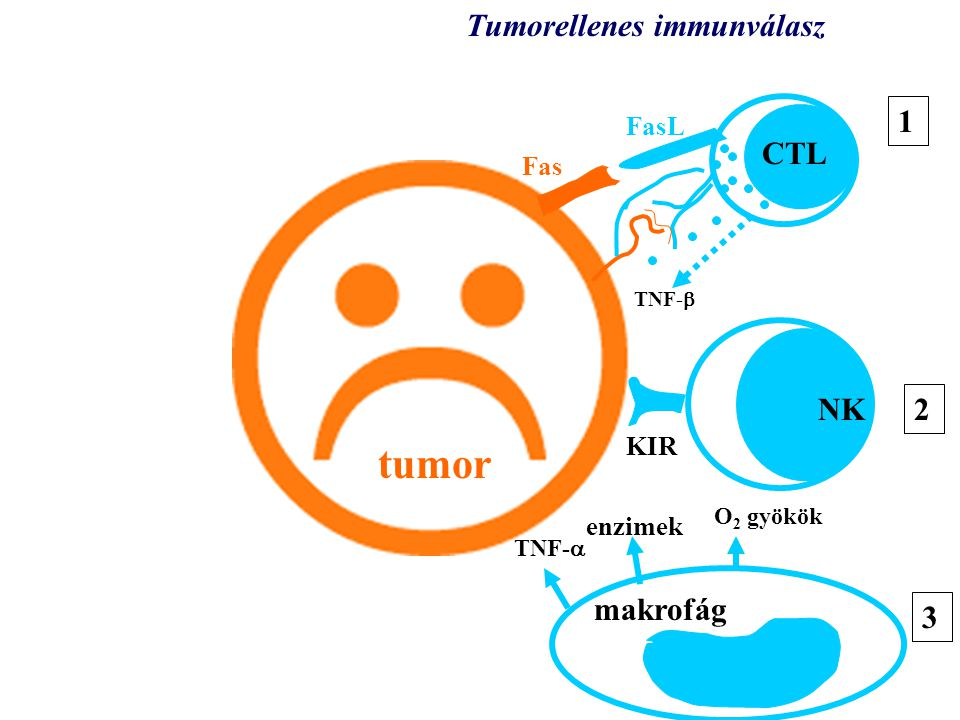 tumor tumor Tumorellenes immunválasz 1 CTL NK 2 makrofág 3 3 FasL Fas