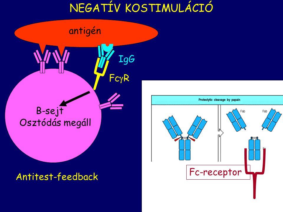 NEGATÍV KOSTIMULÁCIÓ antigén IgG FcR B-sejt Osztódás megáll