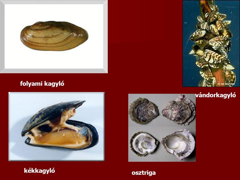 folyami kagyló vándorkagyló kékkagyló osztriga