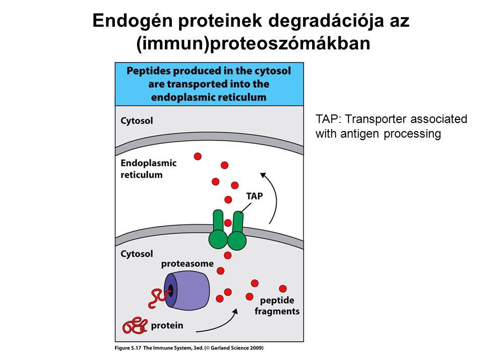 Endogén proteinek degradációja az (immun)proteoszómákban