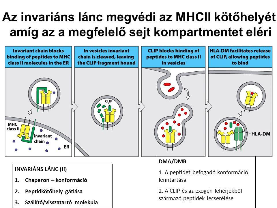 Az invariáns lánc megvédi az MHCII kötőhelyét