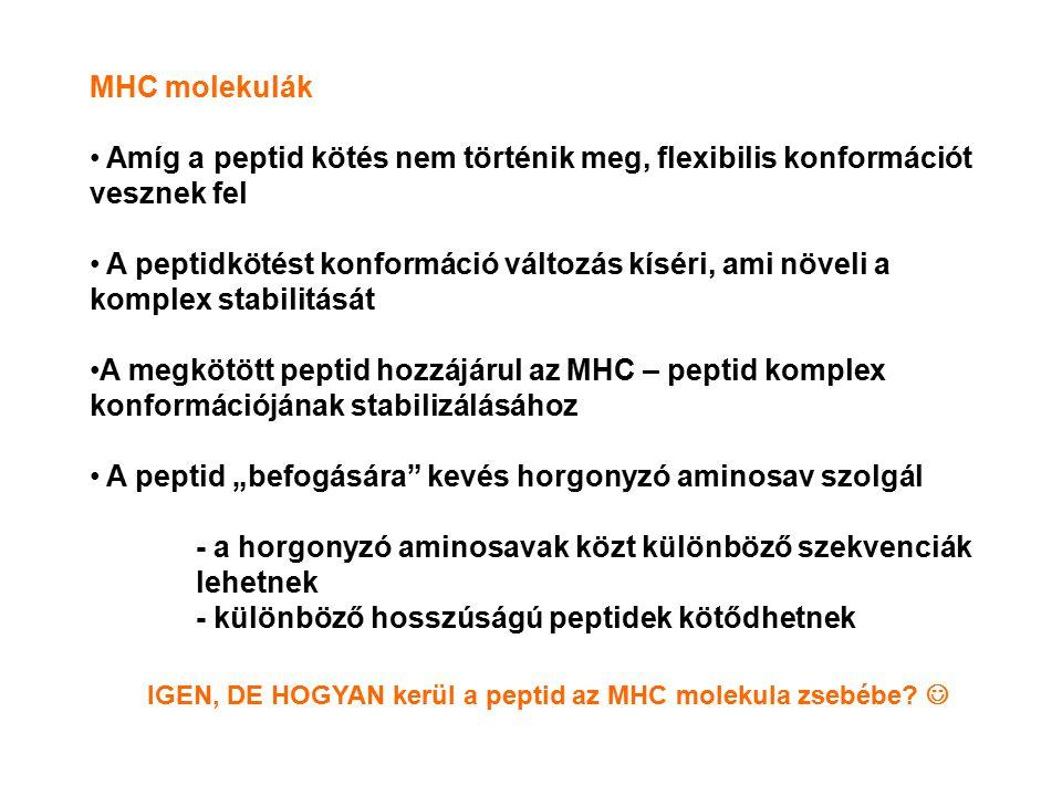 IGEN, DE HOGYAN kerül a peptid az MHC molekula zsebébe 