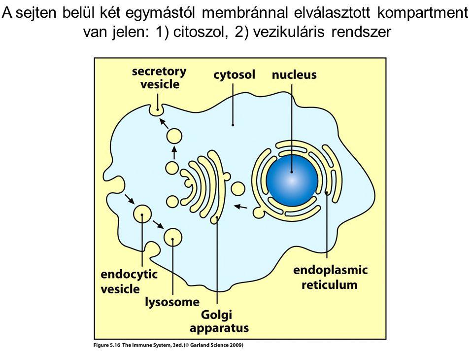A sejten belül két egymástól membránnal elválasztott kompartment
