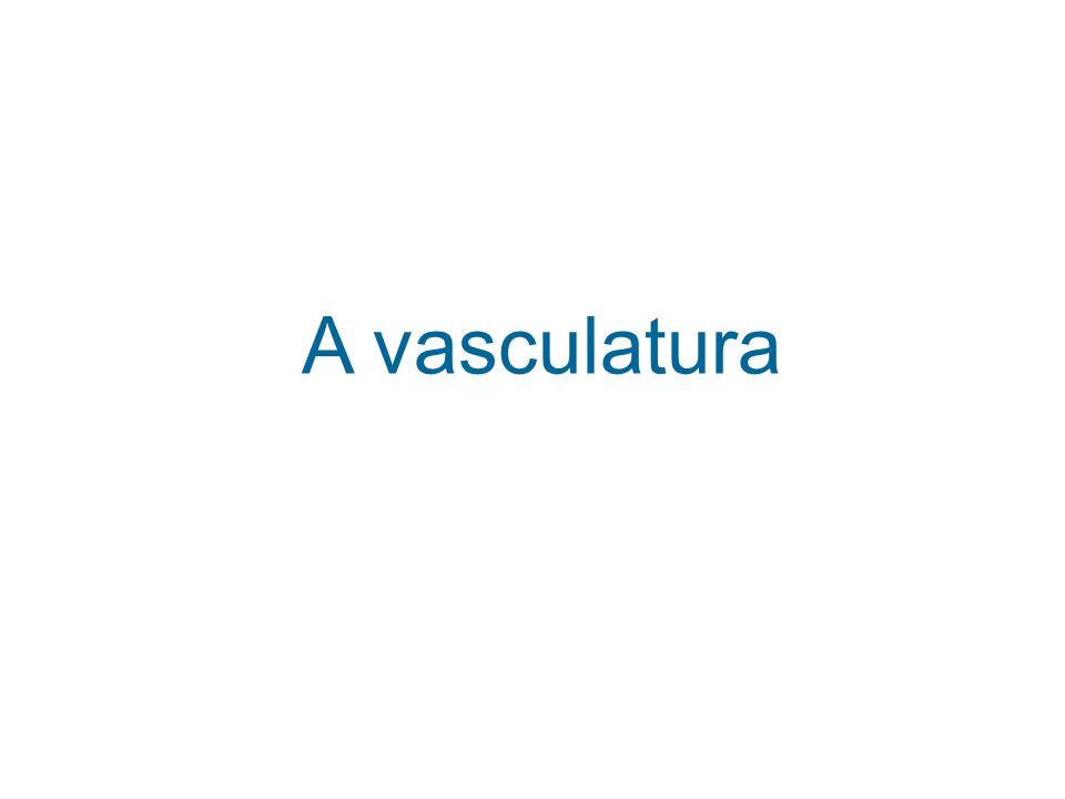 A vasculatura