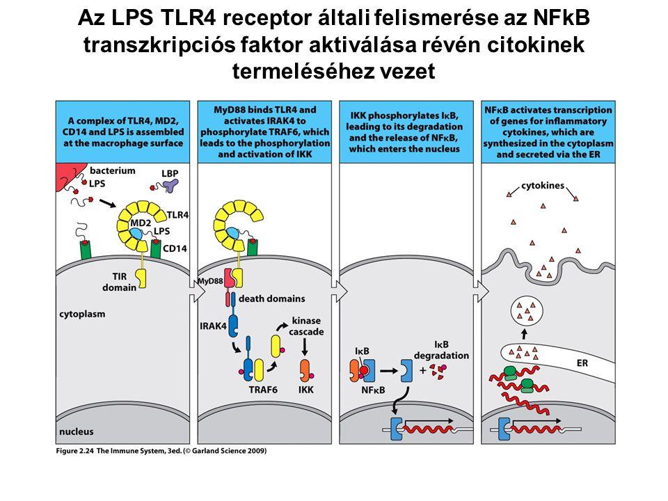Az LPS TLR4 receptor általi felismerése az NFkB transzkripciós faktor aktiválása révén citokinek