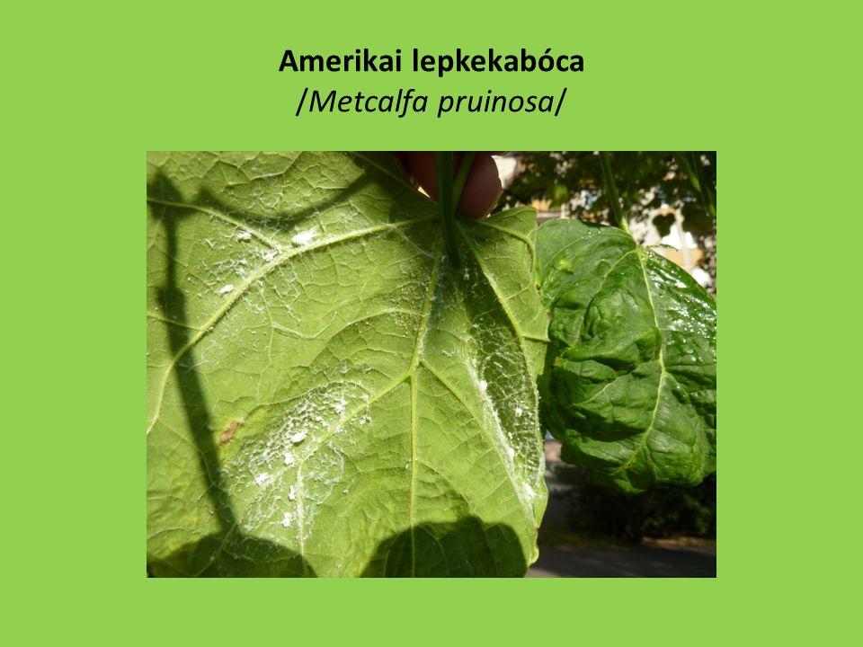 Amerikai lepkekabóca /Metcalfa pruinosa/