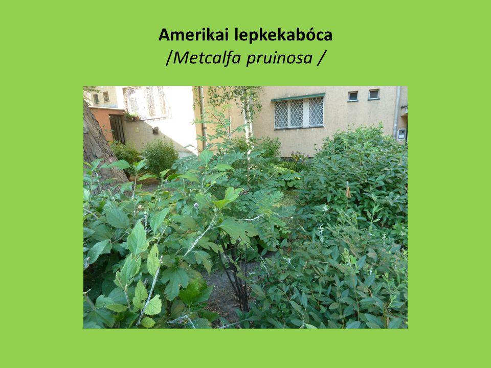 Amerikai lepkekabóca /Metcalfa pruinosa /