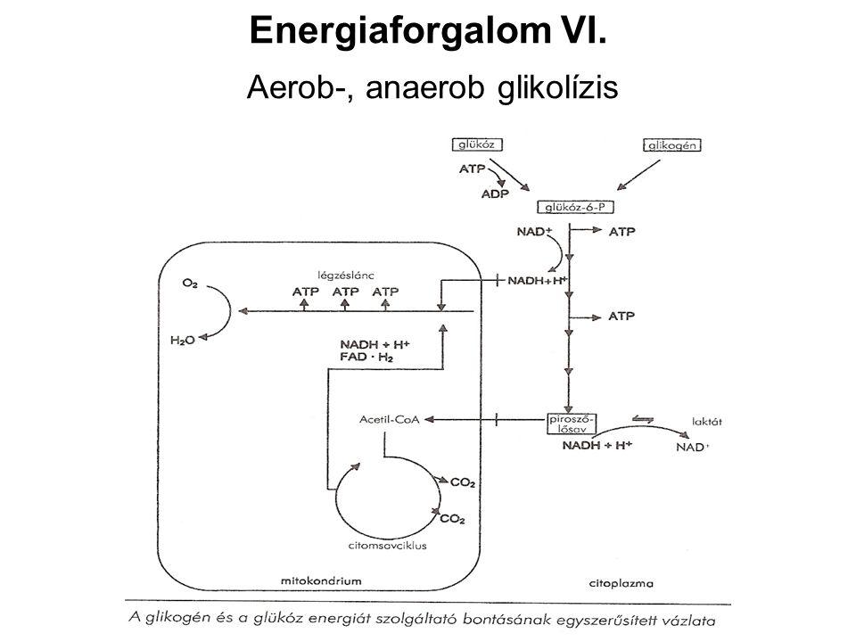 Energiaforgalom VI. Aerob-, anaerob glikolízis