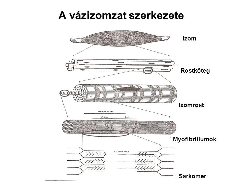 A vázizomzat szerkezete
