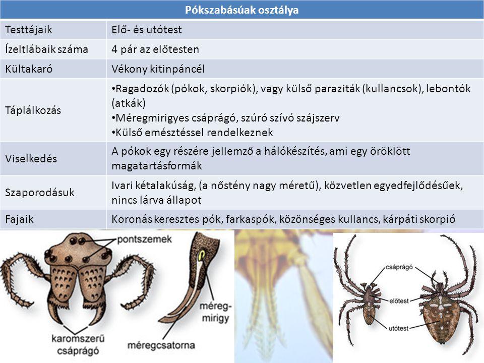 Pókszabásúak osztálya