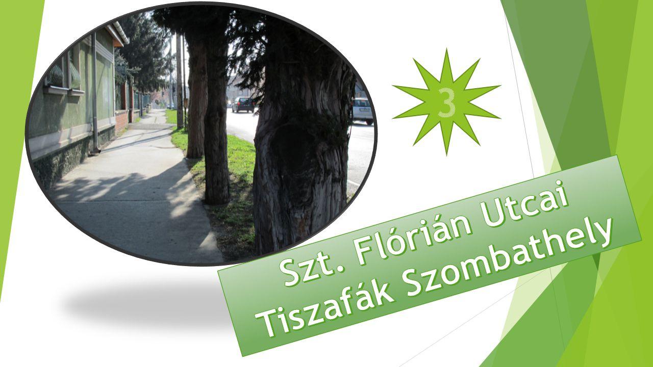 Szt. Flórián Utcai Tiszafák Szombathely