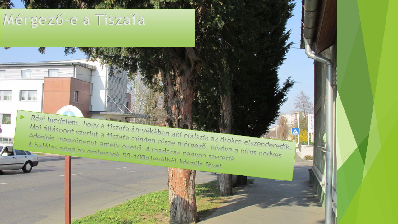 Mérgező-e a Tiszafa