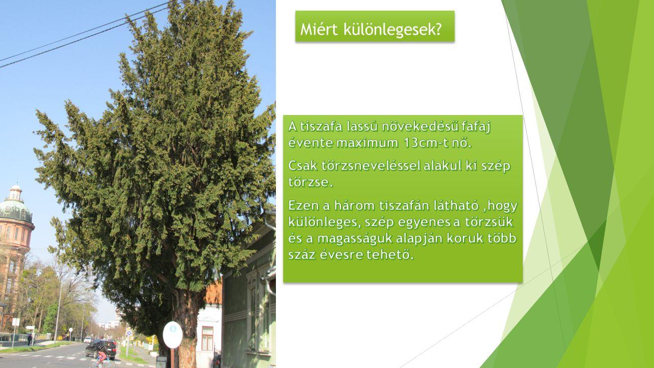 Miért különlegesek A tiszafa lassú növekedésű fafaj évente maximum 13cm-t nő. Csak törzsneveléssel alakul ki szép törzse.