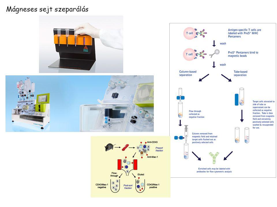 Mágneses sejt szeparálás