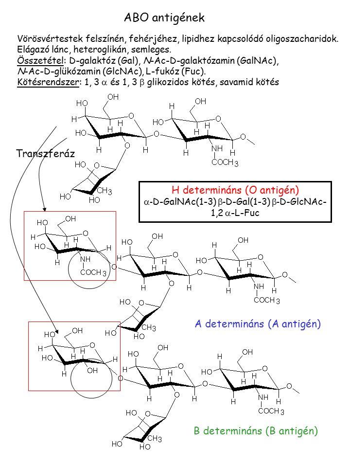 ABO antigének Transzferáz