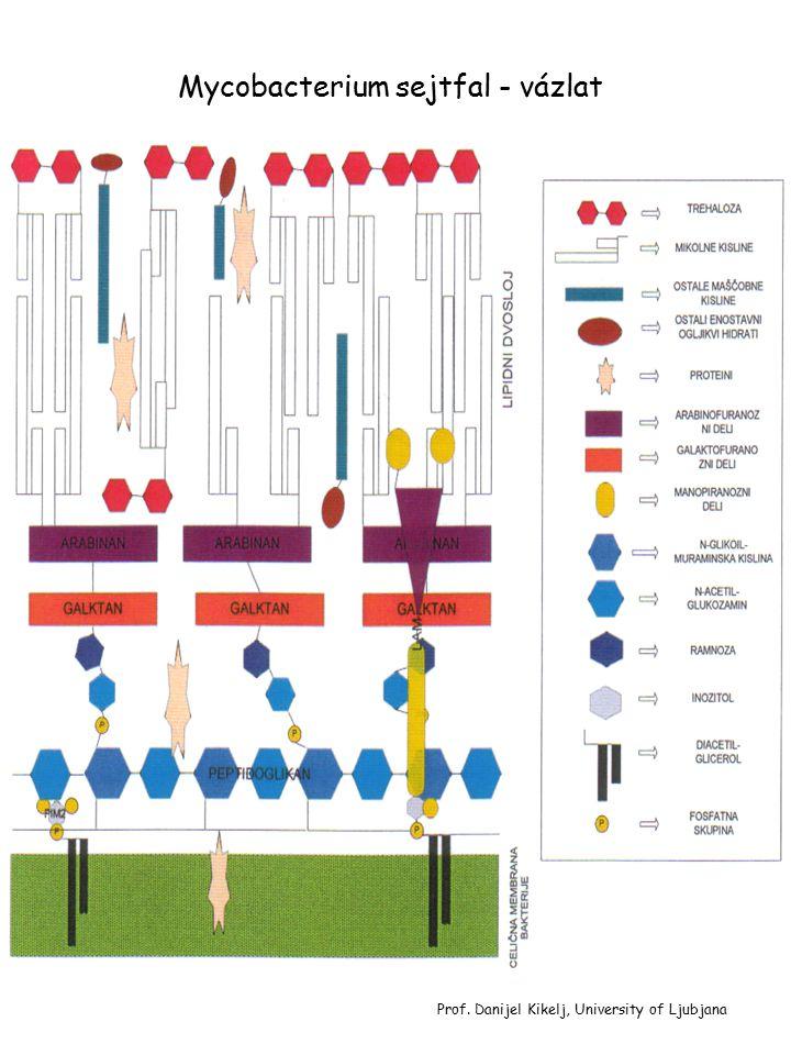 Mycobacterium sejtfal - vázlat