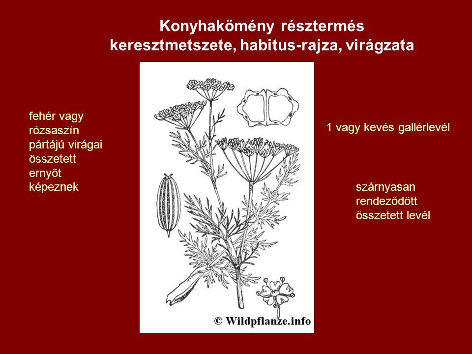 Konyhakömény résztermés keresztmetszete, habitus-rajza, virágzata
