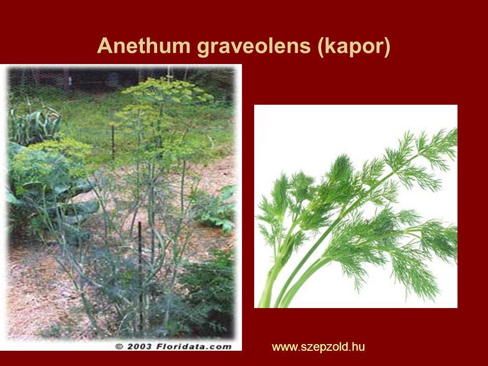 Anethum graveolens (kapor)