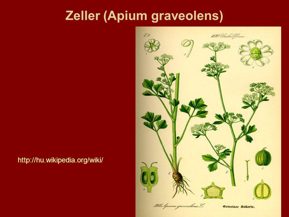 Zeller (Apium graveolens)