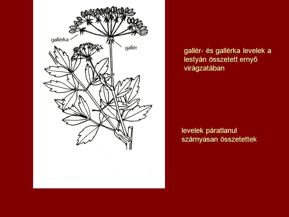 gallér- és gallérka levelek a lestyán összetett ernyő virágzatában
