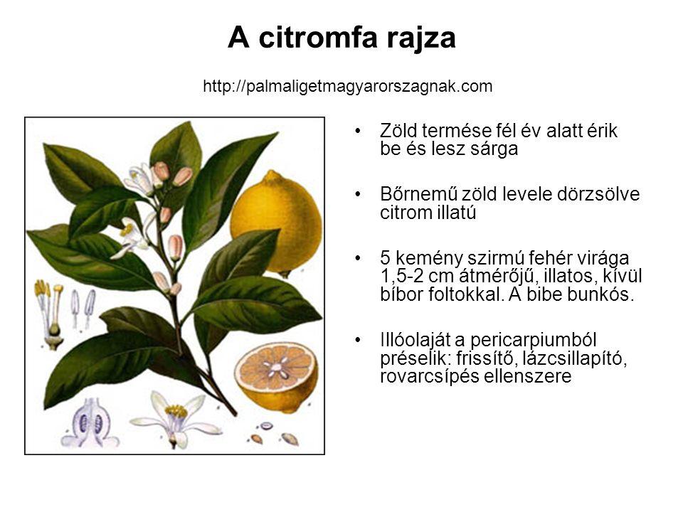 A citromfa rajza http://palmaligetmagyarorszagnak.com