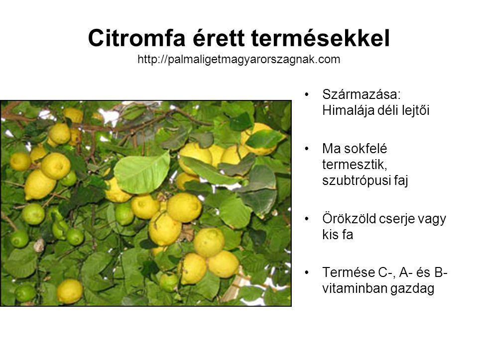 Citromfa érett termésekkel http://palmaligetmagyarorszagnak.com