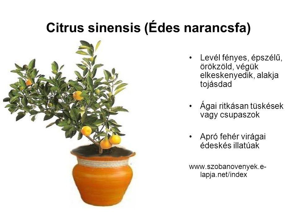 Citrus sinensis (Édes narancsfa)