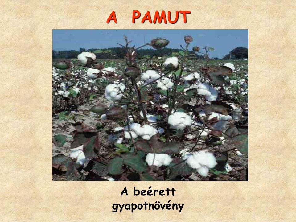 A PAMUT A beérett gyapotnövény