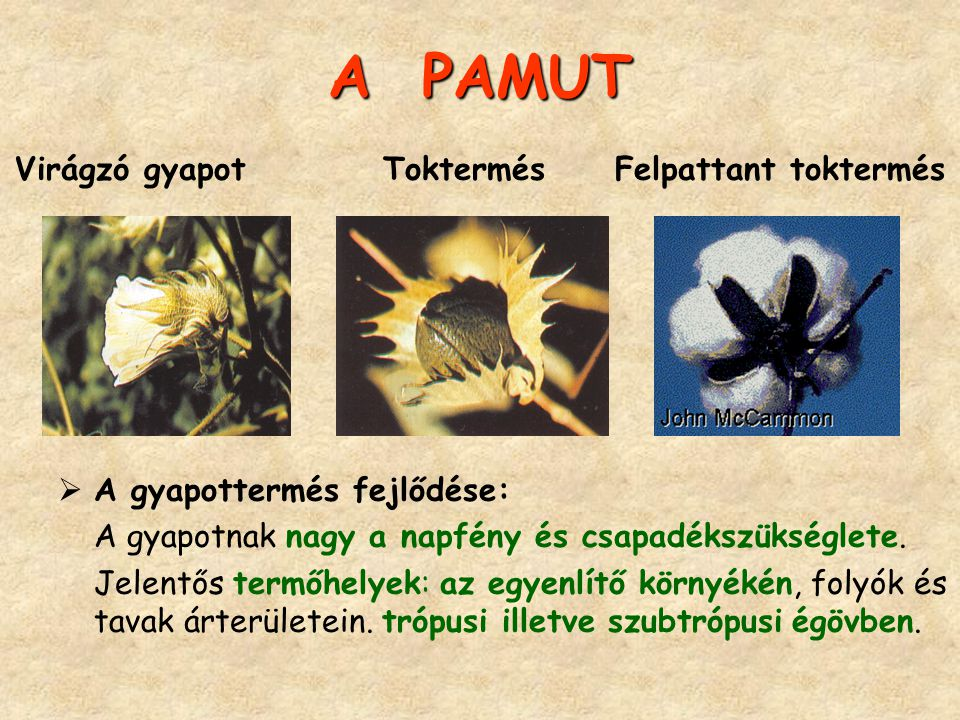 A PAMUT Virágzó gyapot Toktermés Felpattant toktermés
