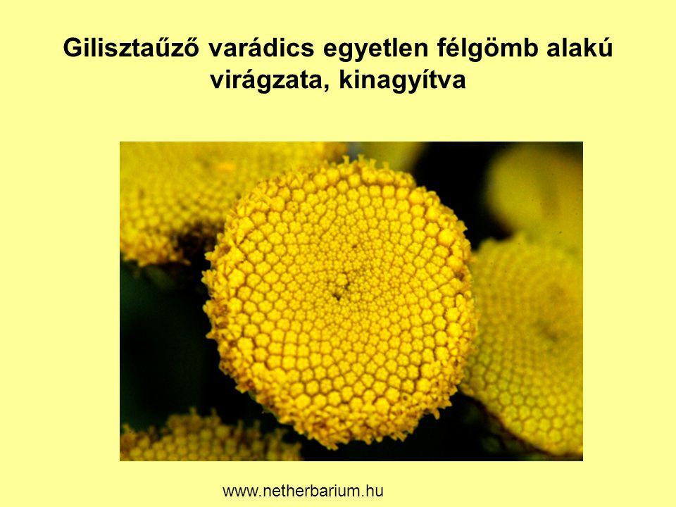 Gilisztaűző varádics egyetlen félgömb alakú virágzata, kinagyítva