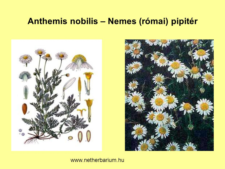 Anthemis nobilis – Nemes (római) pipitér