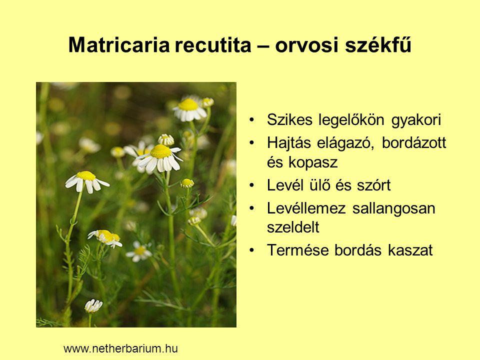 Matricaria recutita – orvosi székfű