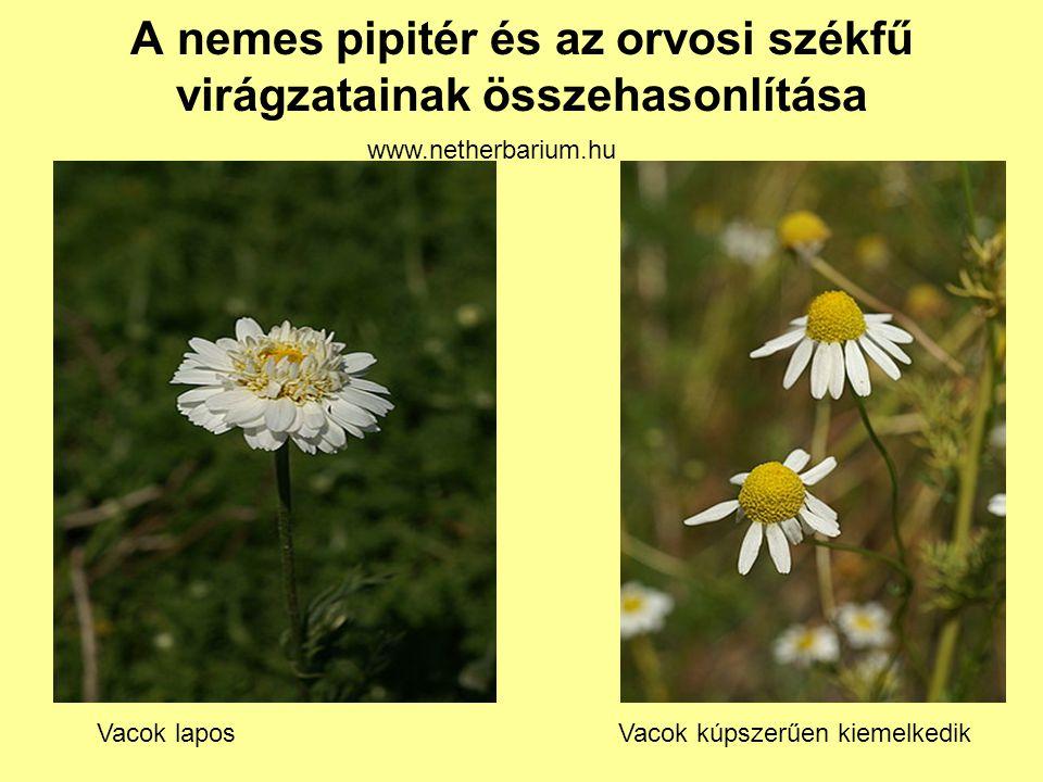 A nemes pipitér és az orvosi székfű virágzatainak összehasonlítása