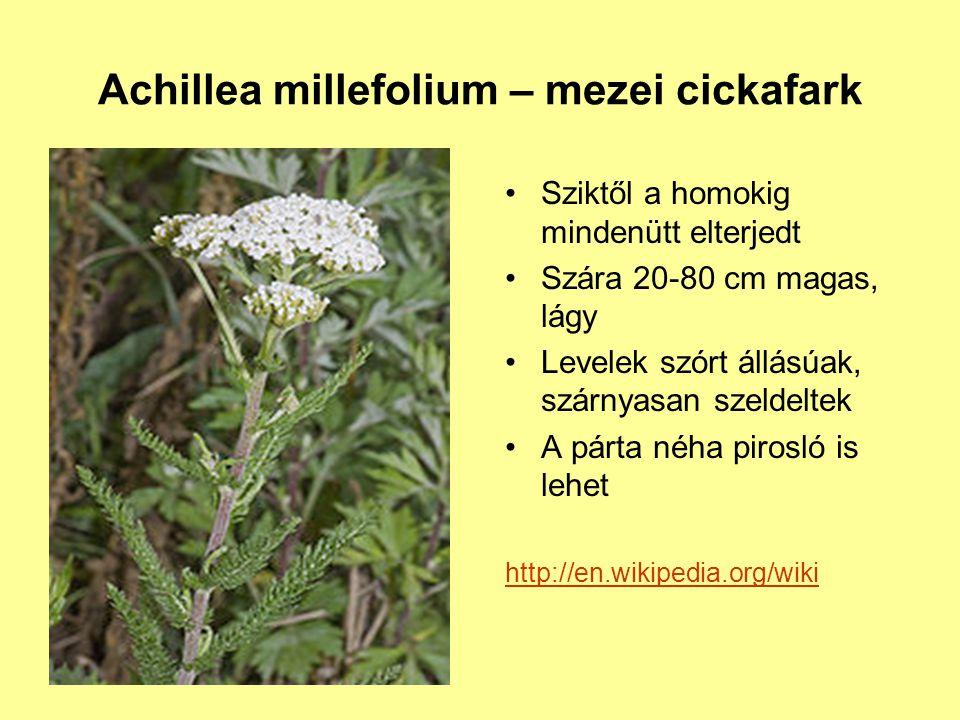 Achillea millefolium – mezei cickafark