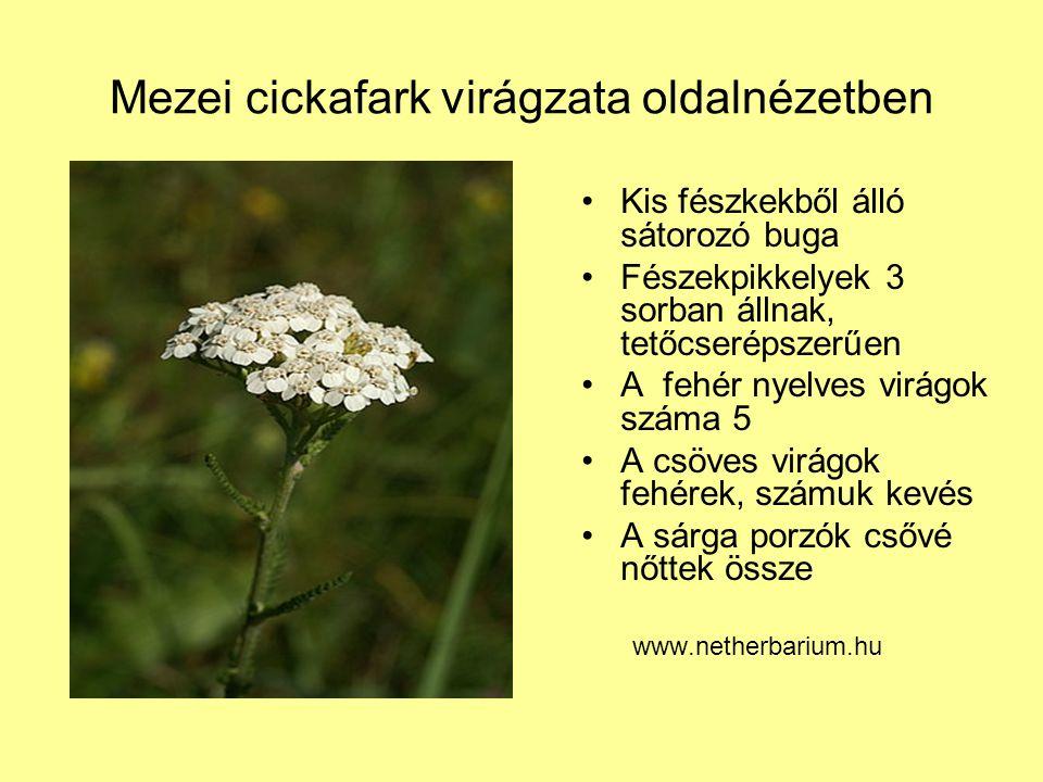 Mezei cickafark virágzata oldalnézetben