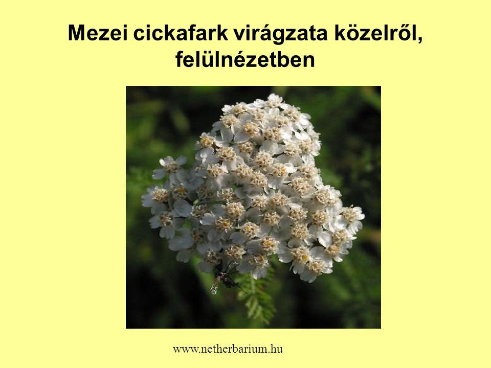 Mezei cickafark virágzata közelről, felülnézetben