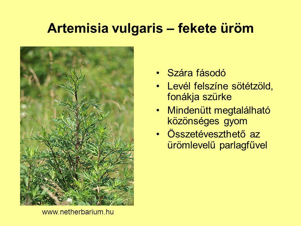 Artemisia vulgaris – fekete üröm