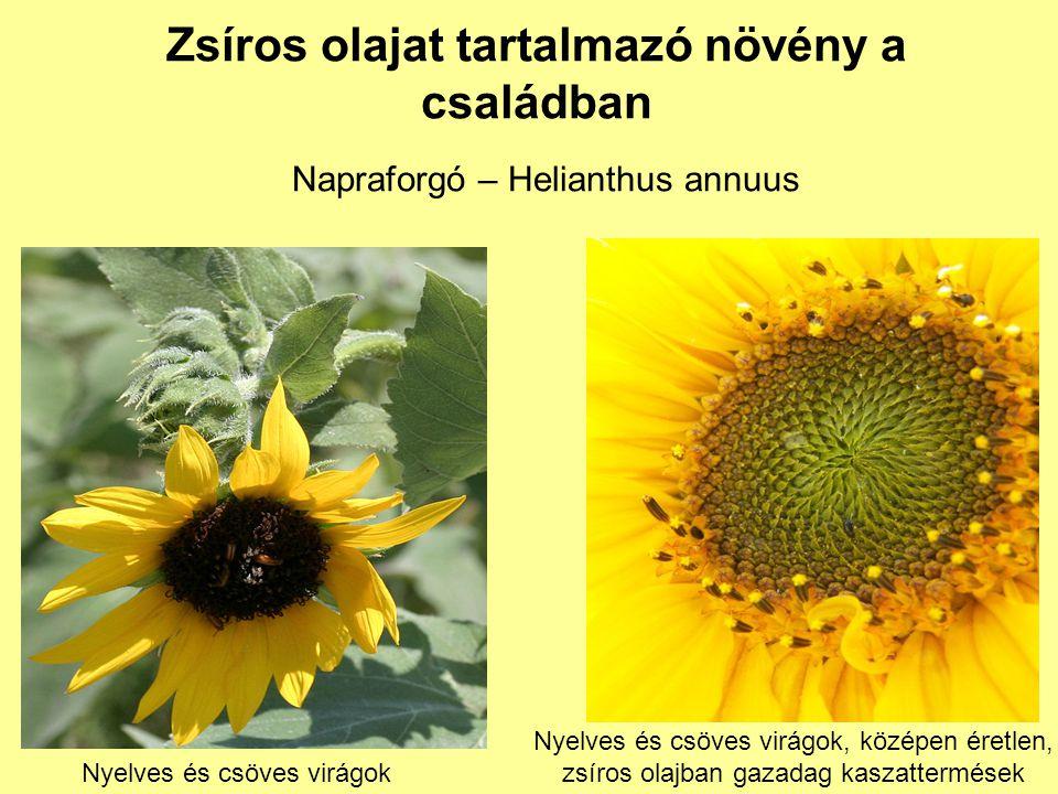 Zsíros olajat tartalmazó növény a családban Napraforgó – Helianthus annuus