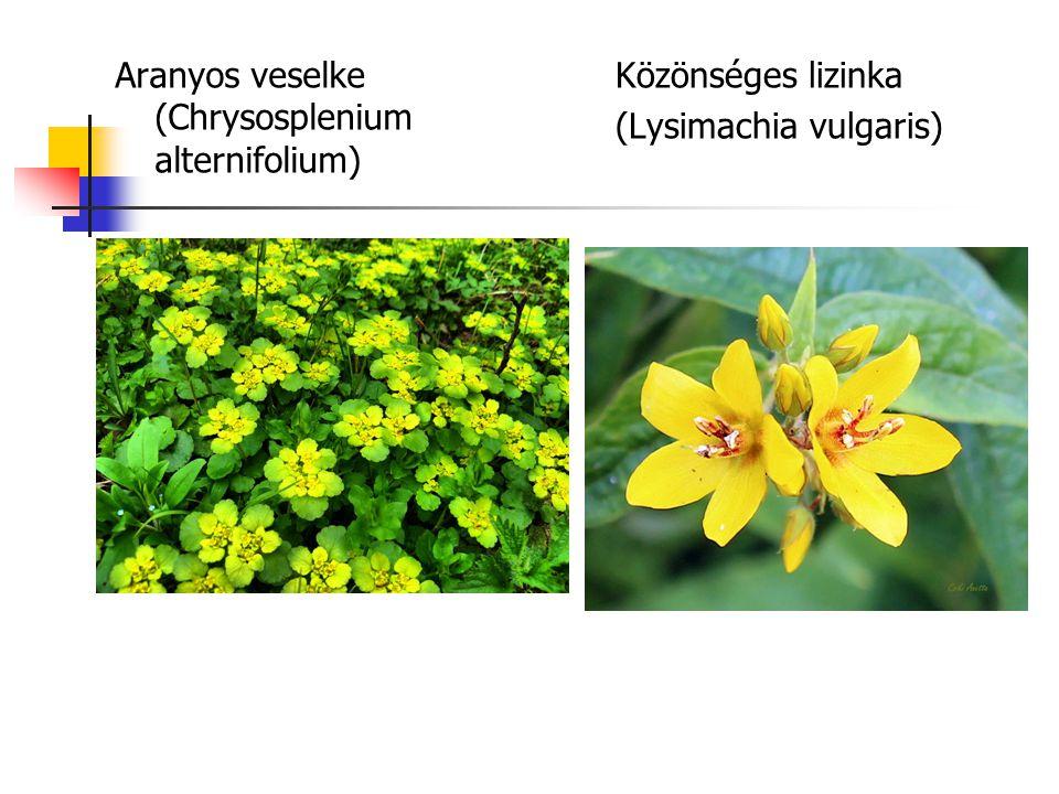 Aranyos veselke (Chrysosplenium alternifolium)