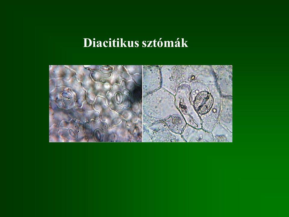 Diacitikus sztómák