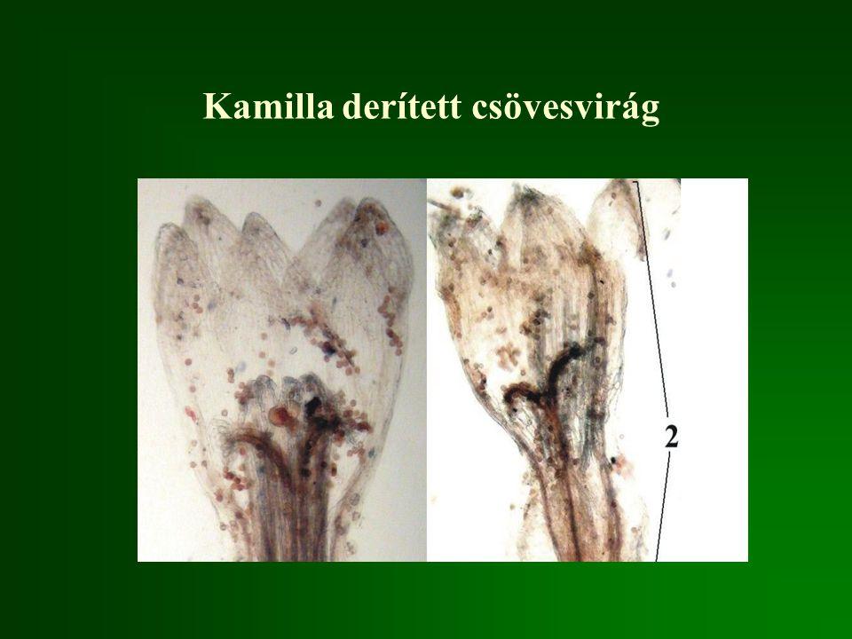 Kamilla derített csövesvirág