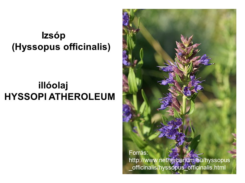 (Hyssopus officinalis)