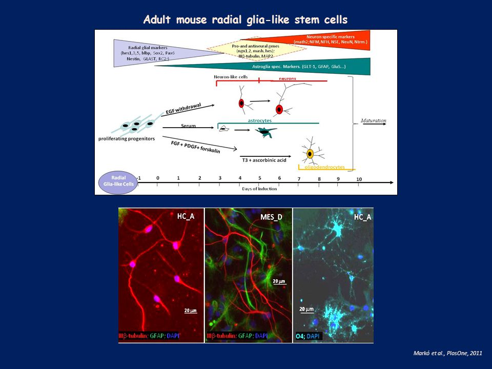 Adult mouse radial glia-like stem cells