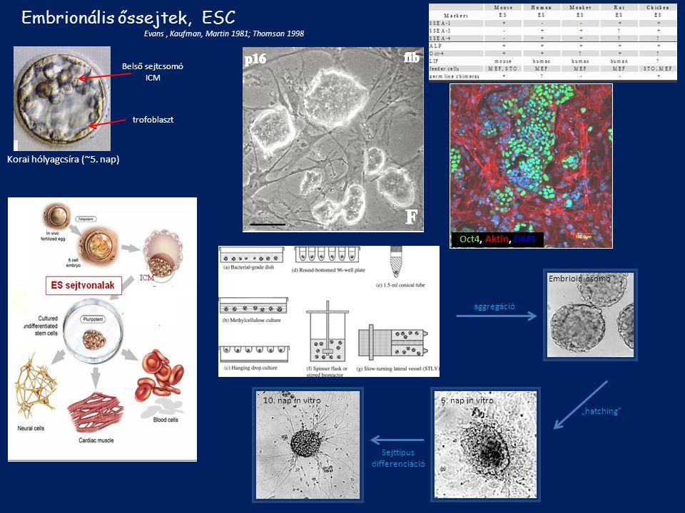 Embrionális őssejtek, ESC