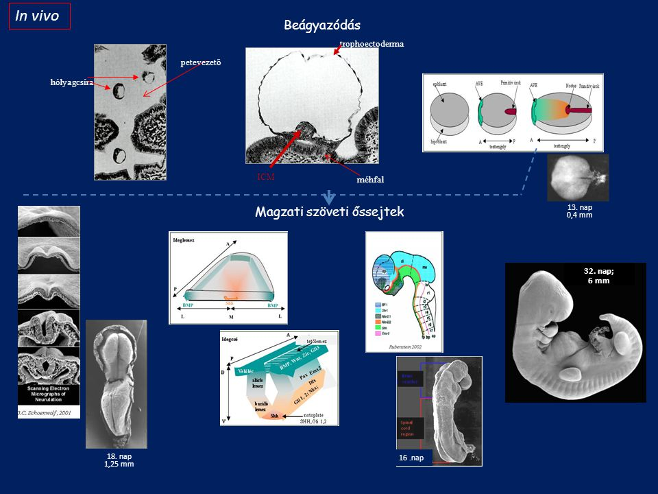 In vivo Beágyazódás Magzati szöveti őssejtek trophoectoderma