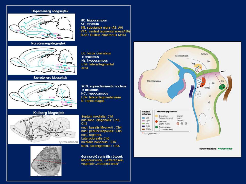 Dopaminerg idegsejtek
