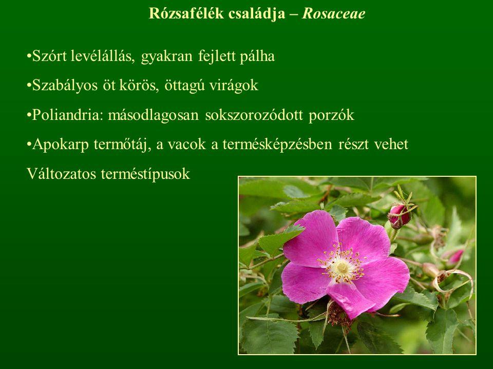 Rózsafélék családja – Rosaceae