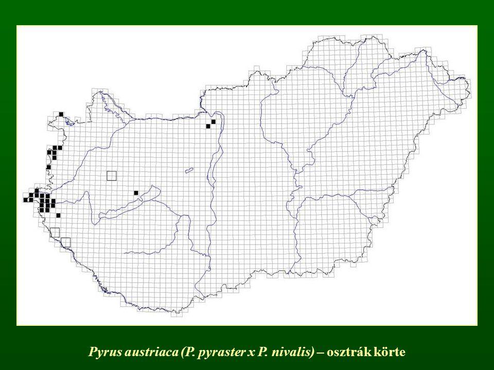 Pyrus austriaca (P. pyraster x P. nivalis) – osztrák körte