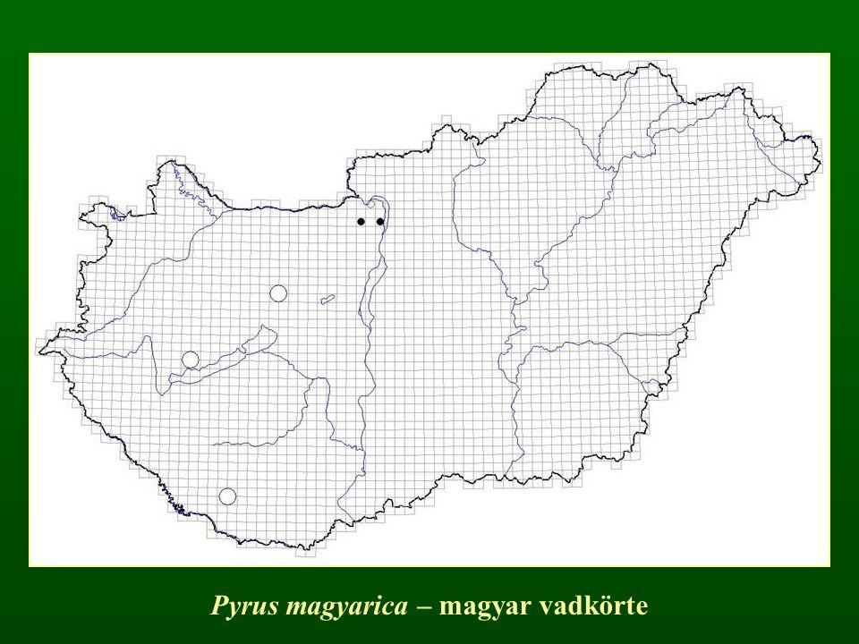 Pyrus magyarica – magyar vadkörte